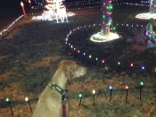 010. Annie Takes a Break from her Walk to Appreciate the Neighbor\'s Christmas Light Display