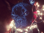 132. A Frenchie Christmas!