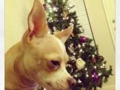 055. Chihuahua Christmas