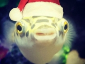016. Wishy, Wishy the Christmas Fishy!