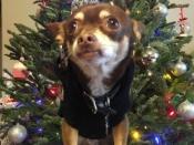 072. Chihuahua Christmas